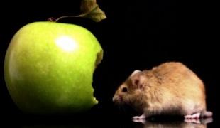 Як позбутися запаху мишей